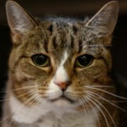 Maple, a female cat in need of a home
